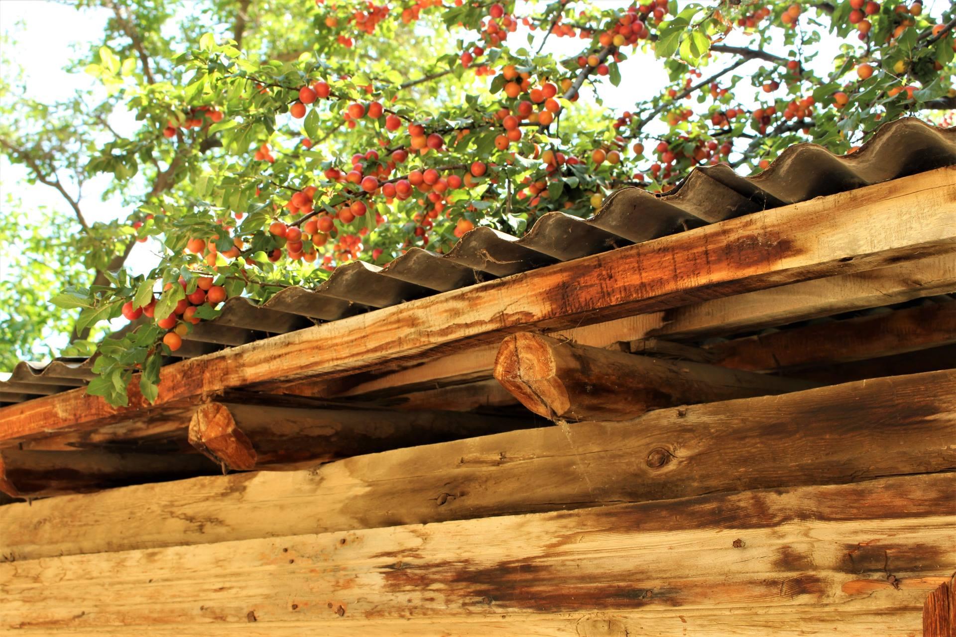 Kırmızı-erik-ağacı