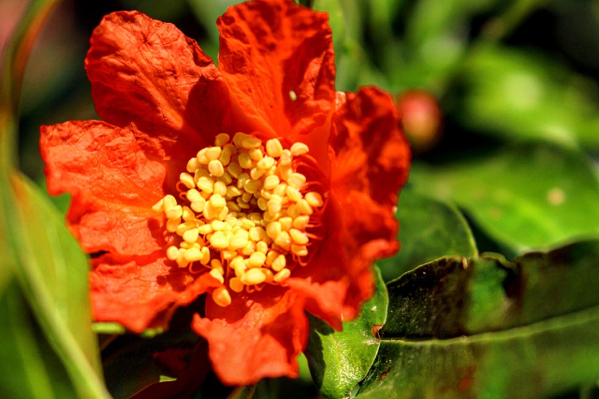 Nar Çiçeği